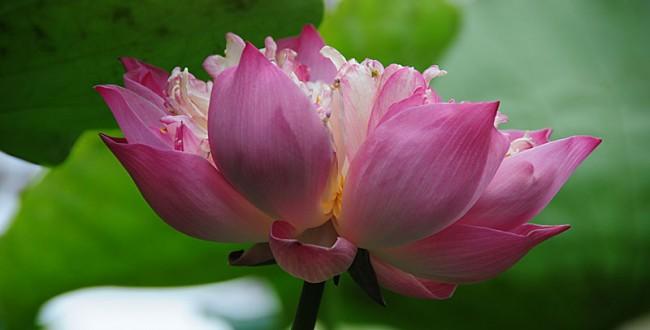 lotus-6